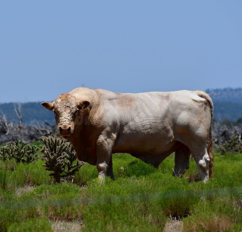 Charolais bydło w polu w Teksas obrazy royalty free