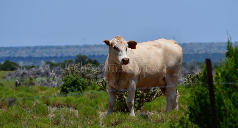 Charolais bydło w polu w Teksas zdjęcia stock