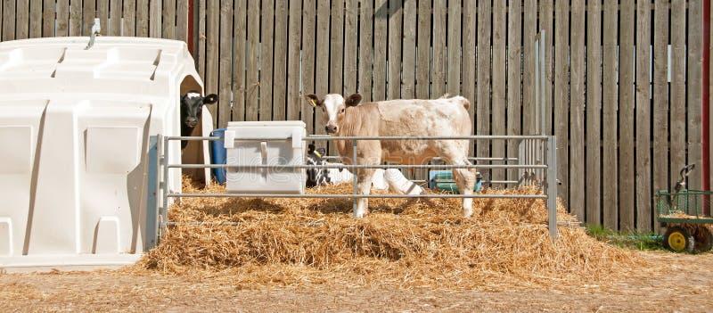 Charolais cattle royalty free stock photo