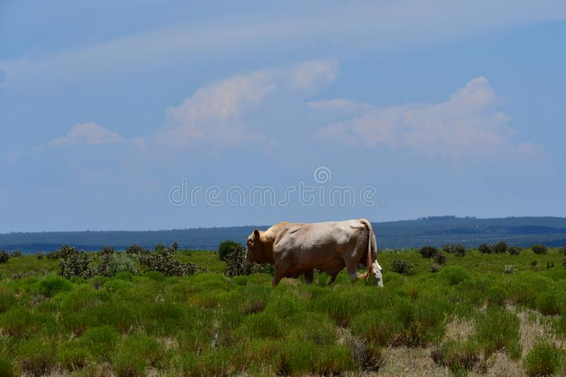 Charolais Cattle in a field in Texas. The Charolais bull has light tan colored fur and is grown in middle Texas for beef. Although Charolais cows are used royalty free stock images