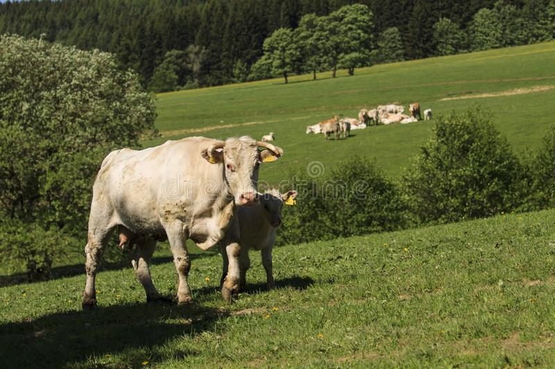 Charolais cow drove on the pasture. Charolais cows drove on the green pasture in summertime with calves royalty free stock image