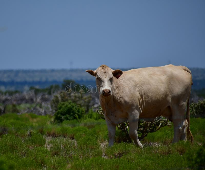 Charolais Cattle in a field in Texas. The Charolais cow has light tan colored fur and is grown in middle Texas for beef. Although Charolais are used primarily as stock photo