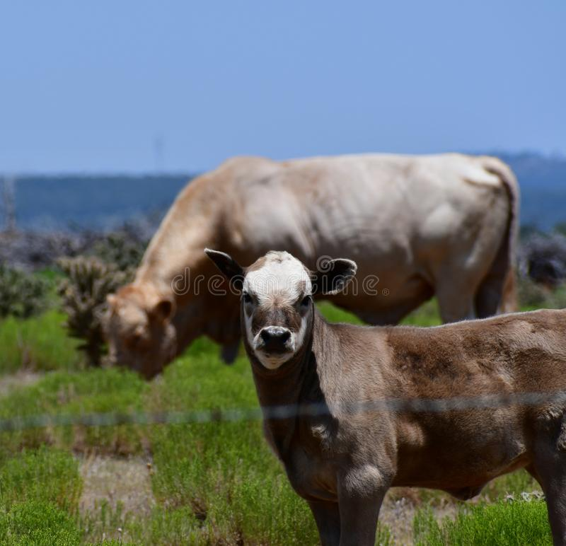 Baby Charolais Cattle in a field in Texas. The Charolais cow has light tan colored fur and is grown in middle Texas for beef. Although Charolais are used stock photos