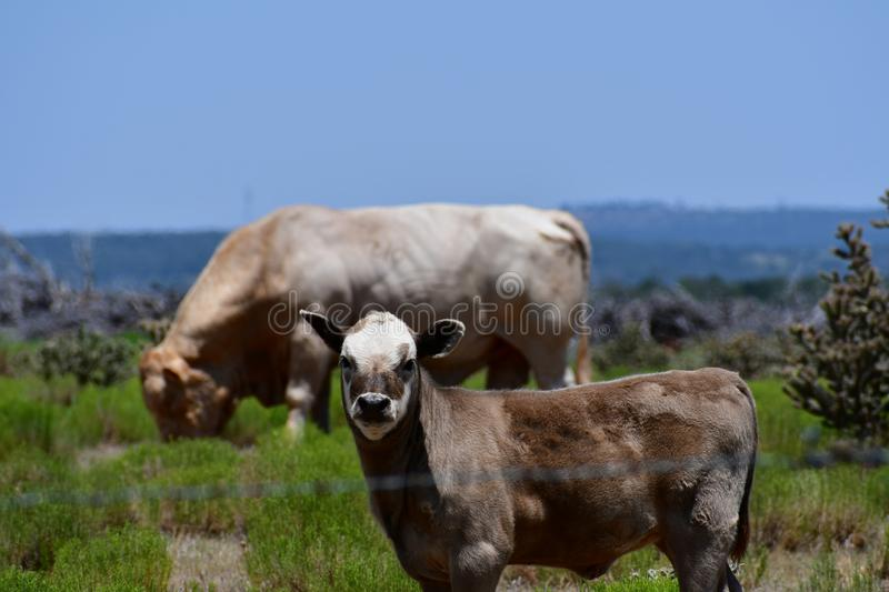 Baby Charolais Cattle in a field in Texas. The Charolais cow has light tan colored fur and is grown in middle Texas for beef. Although Charolais are used royalty free stock photos