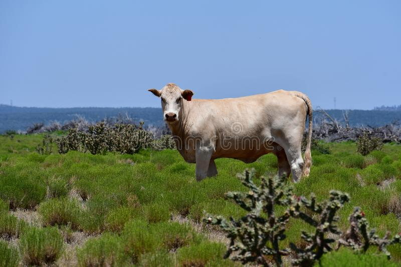 Charolais Cattle in a field in Texas. The Charolais cow has light tan colored fur and is grown in middle Texas for beef. Although Charolais are used primarily as stock photos