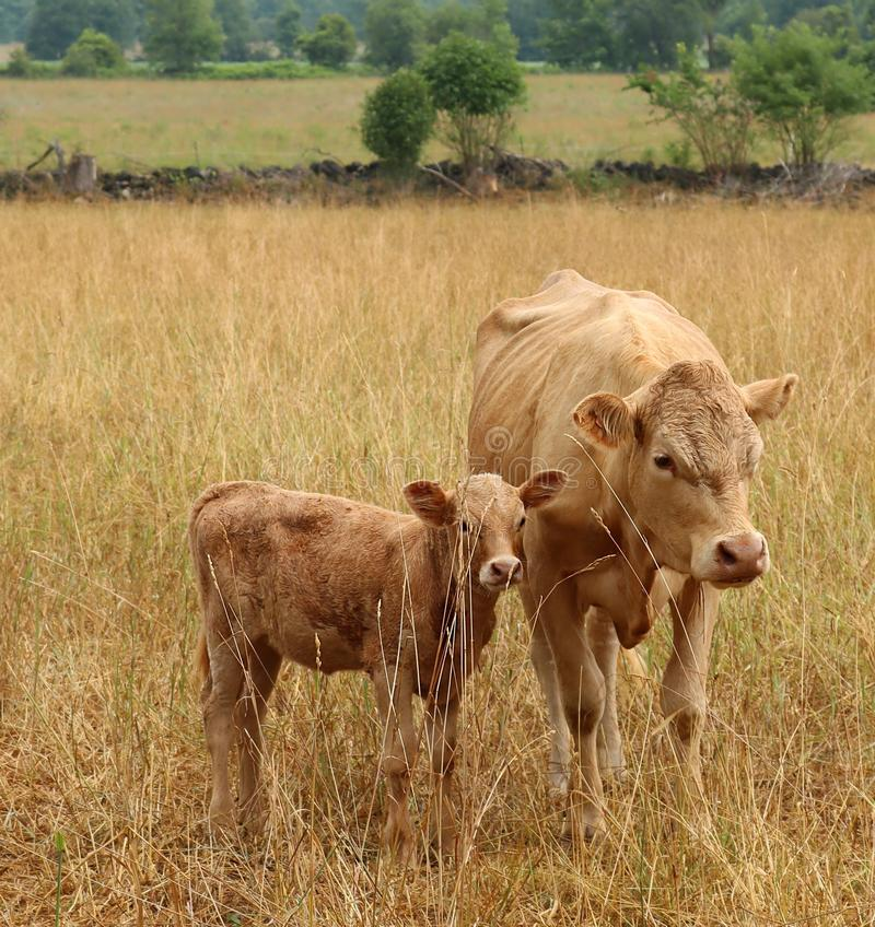 Charolais cow with her newborn calf standing in the dry meadow stock photos