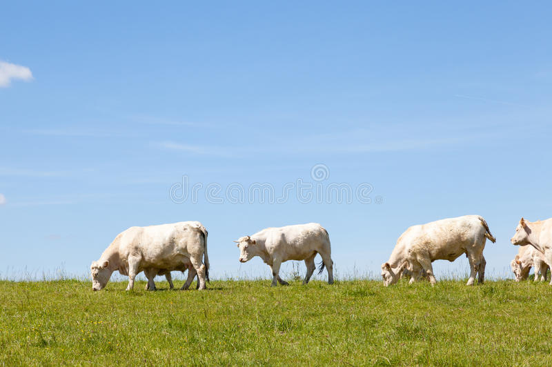 Charolais cows and calves on the skyline. Herd of white Charolais cows and calves grazing in a green pasture on the skyline against a sunny clear blue sky with royalty free stock photo