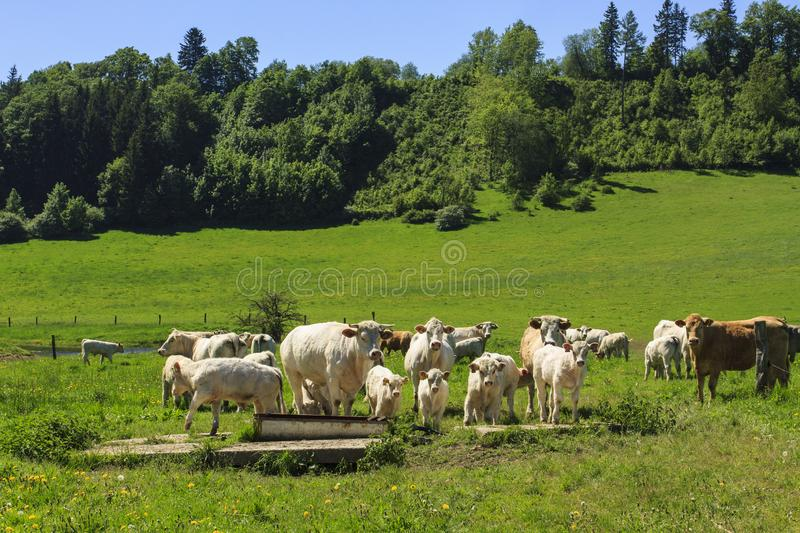 Charolais cow drove on the pasture. Charolais cows drove on the green pasture in summertime with calves royalty free stock photos