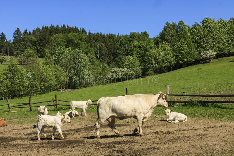 Charolais cow drove on the pasture. Charolais cows drove on the green pasture in summertime with calves royalty free stock photo