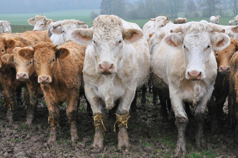 Charolais cows with their calves royalty free stock images
