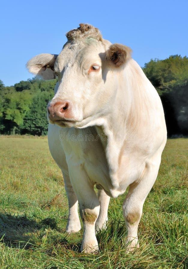 Charolais krowa zdjęcia stock
