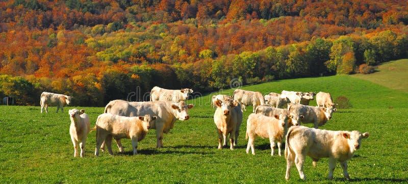 charolais krowy France fotografia stock