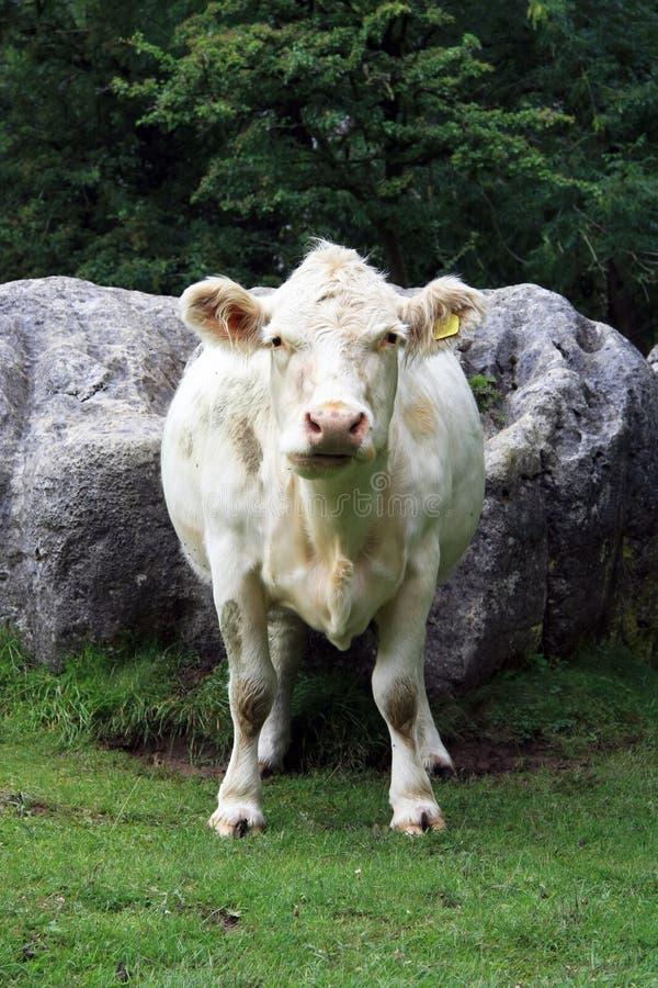 Charolais krowy portreta widok zdjęcie royalty free