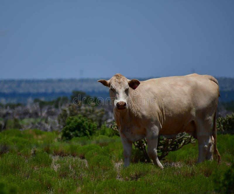 Charolais-Vieh auf einem Gebiet in Texas stockfoto