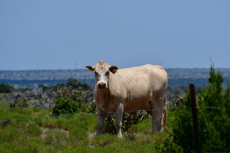 Charolais-Vieh auf einem Gebiet in Texas lizenzfreie stockbilder