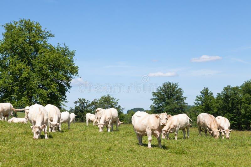 Charolais wołowiny krowy i byka pasanie w zielonym paśniku fotografia royalty free