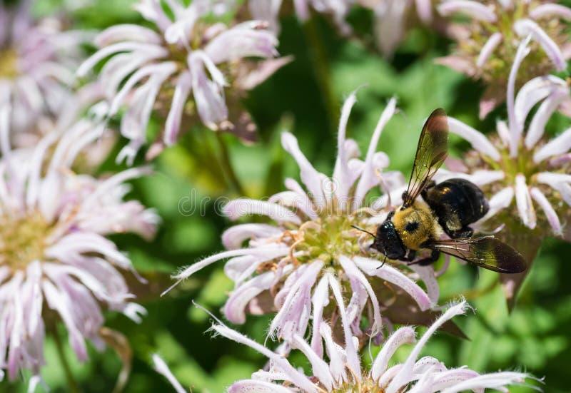 Charpentier Bee images libres de droits