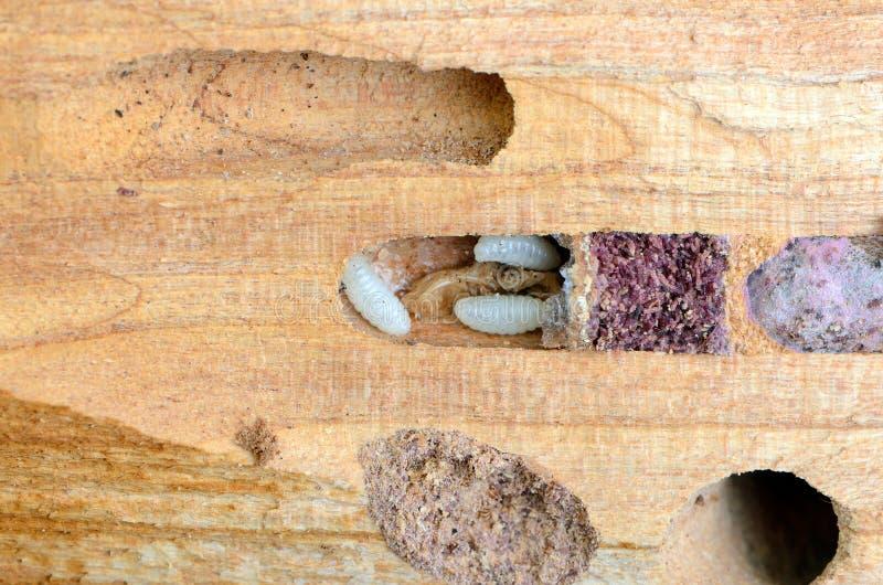 charpentier larves dans le tronc de l 39 arbre parasites de jardin de scarab es image stock image. Black Bedroom Furniture Sets. Home Design Ideas