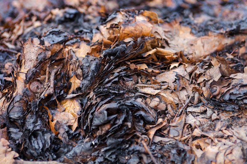 Charred autumn leaves. Pile of charred autumn leaves after the fire. Close up stock photo