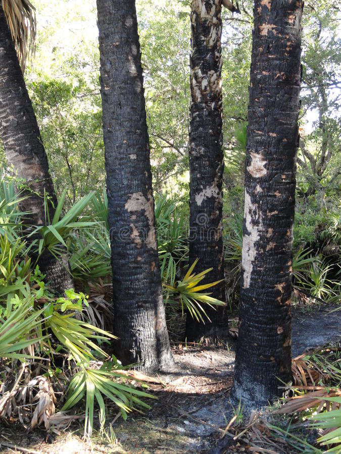 Charred Palm Trunks After A Fire stock image