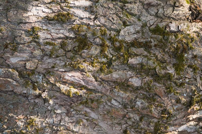 The charred tree bark closeup. The charred old big oak bark black color with large furrows closeup stock photos