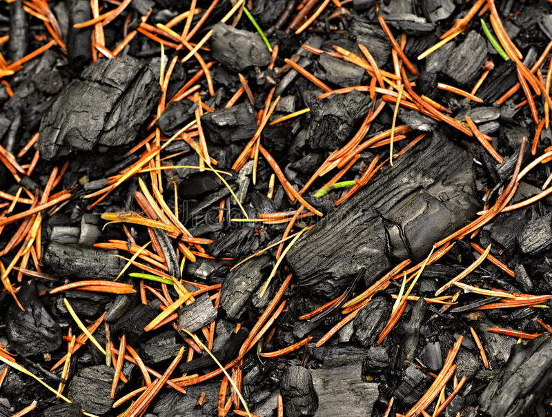 Download A Charred Wood Sprinkled With Spruce Pine Needles Stock Photo - Image: 35279740