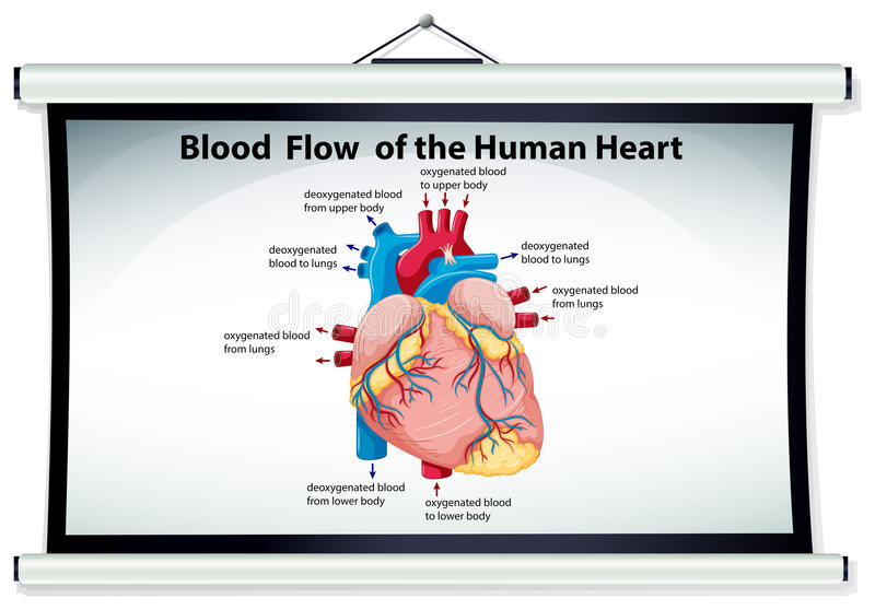 Chart showing blood flow in human heart. Illustration stock illustration