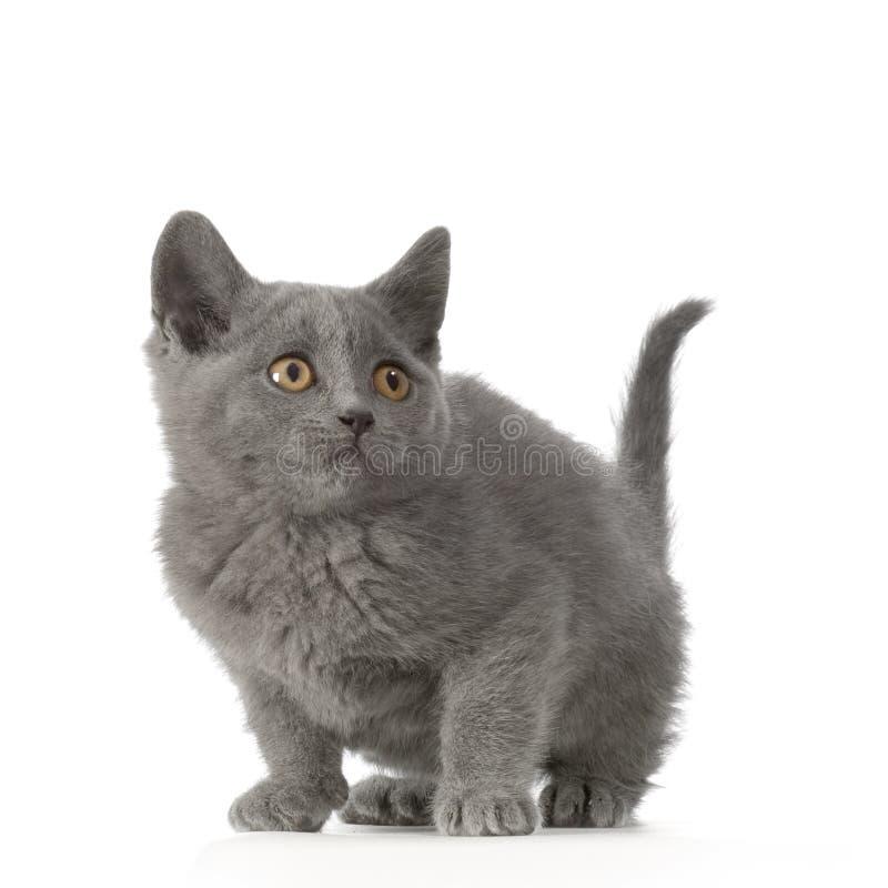 chartreux γατάκι στοκ φωτογραφίες