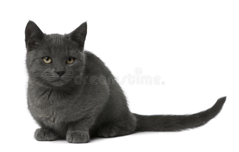 chartreux συνεδρίαση γατακιών στοκ εικόνα με δικαίωμα ελεύθερης χρήσης