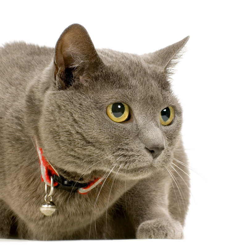 Chartreux royalty-vrije stock fotografie