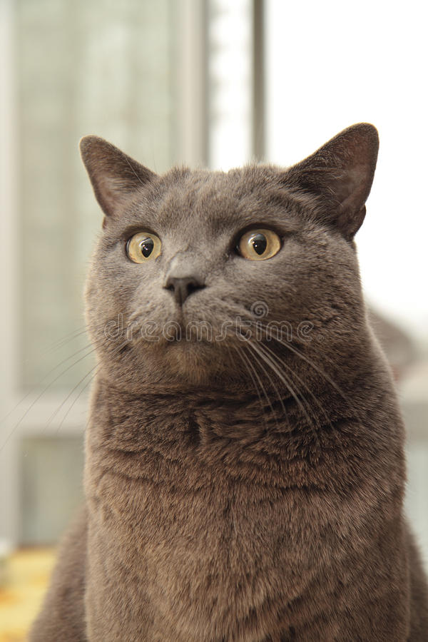 Free Chartreux Cat Royalty Free Stock Photos - 16336508