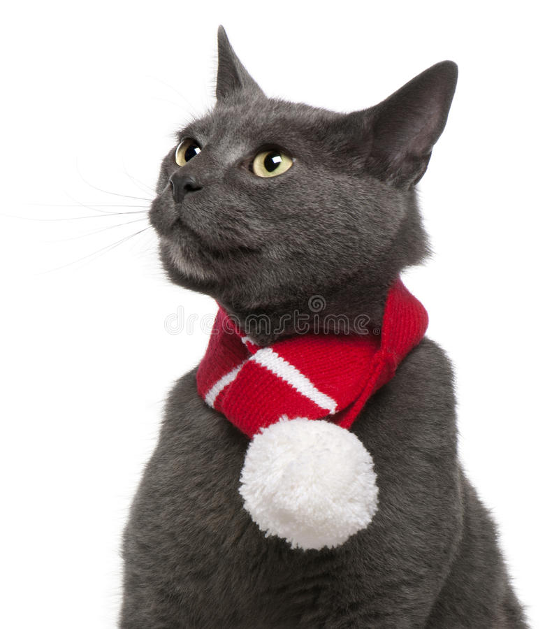 Download Chartreux Cat Wearing Winter Scarf, 3 Years Old Stock Photo - Image: 17597756