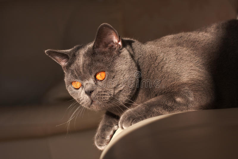 Chartreux Katze stockfotografie