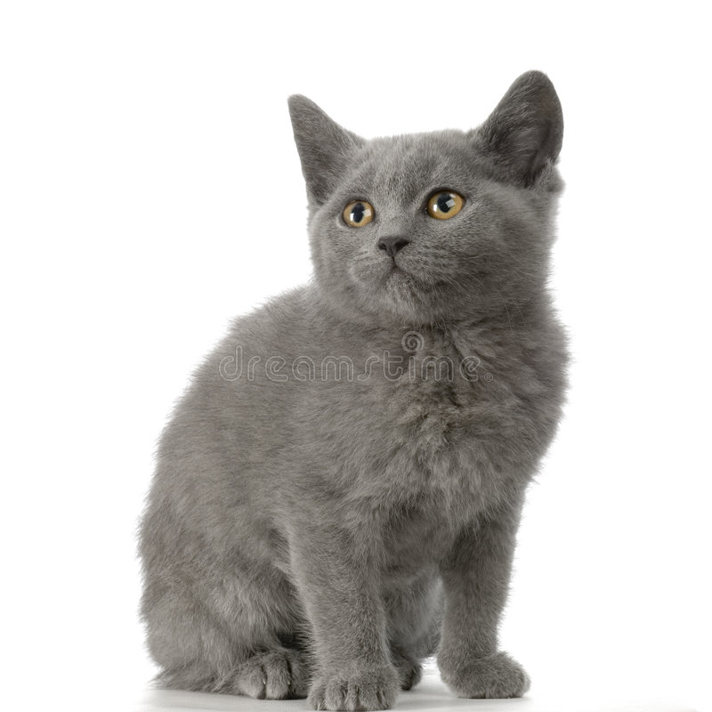 Download Chartreux Kitten Royalty Free Stock Image - Image: 2321566