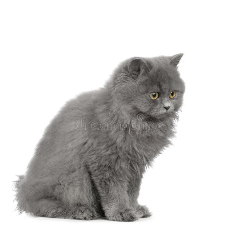 Chartreux Kitten Stock Photos