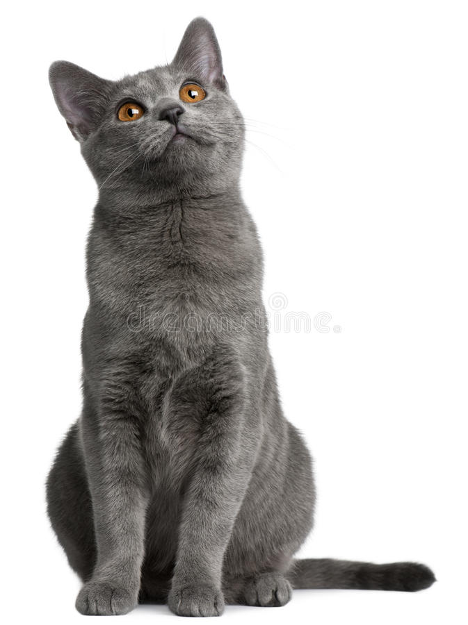 Chartreux kitten, 5 months old royalty free stock image