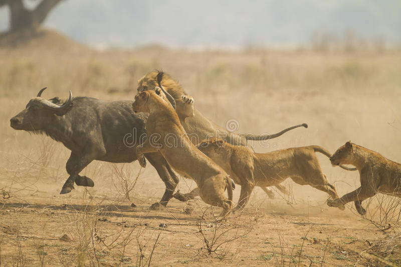 The Chase. African Buffalo (Syncerus caffer) being caught by Lions (Panthera leo). Taken in Mana Pools National Park, Zimbabwe