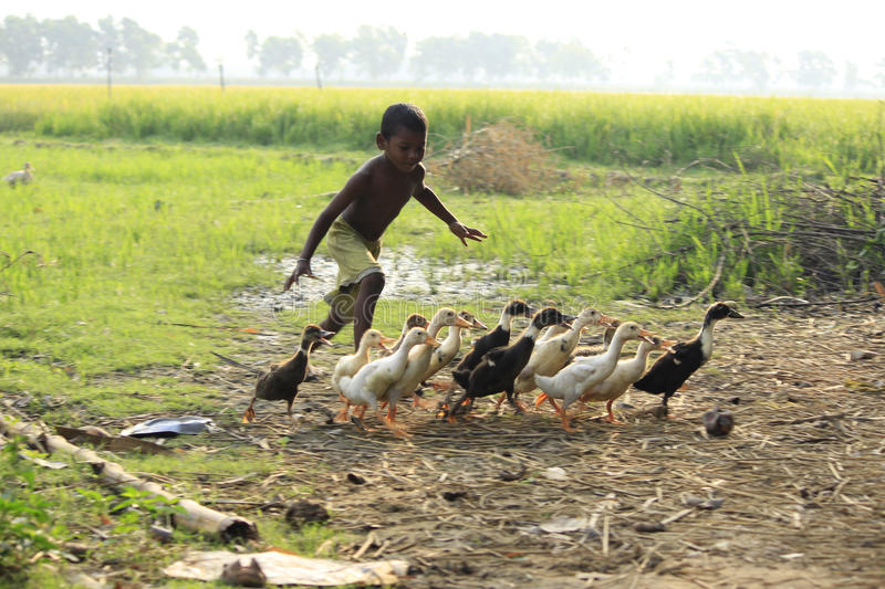 Chasing the duckling. Boundless joy of childhood. The child is running behind the ducklings
