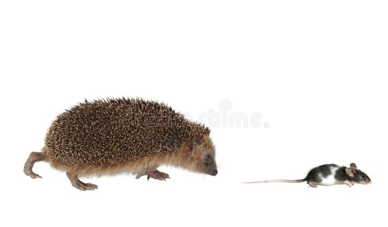 Download Chasing mouse hedgehog stock photo. Image of hedgehog - 20831122