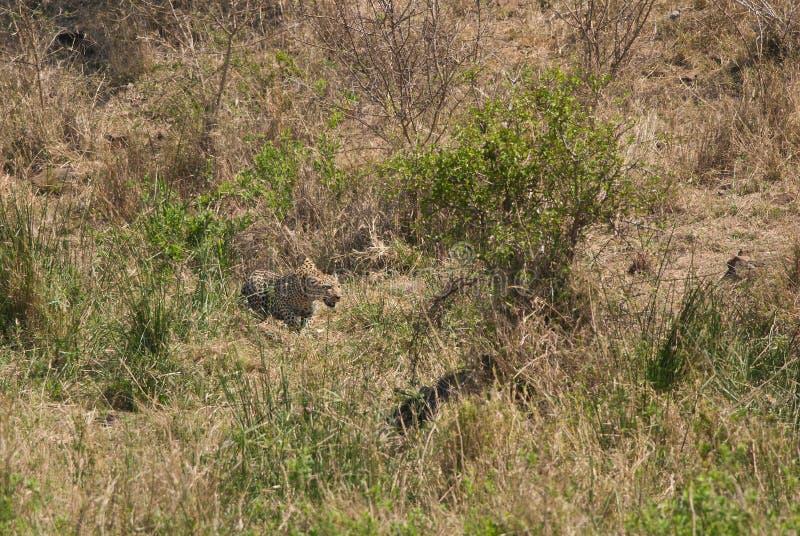 Chasse africaine de léopard photographie stock