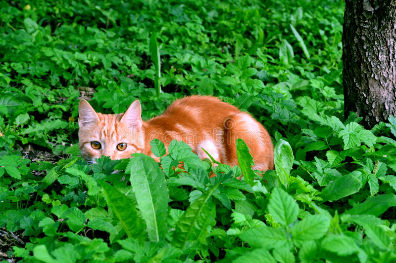 Chasse de chat photo stock