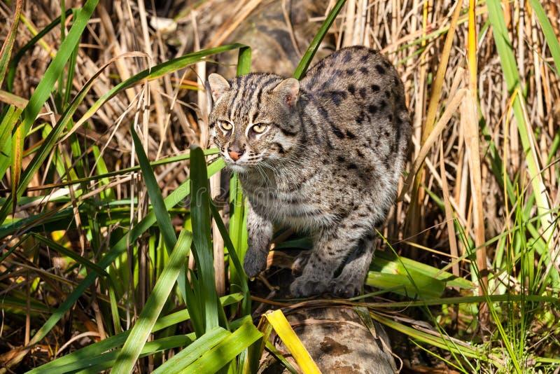 Chasse de chat de pêche dans la longue herbe images libres de droits