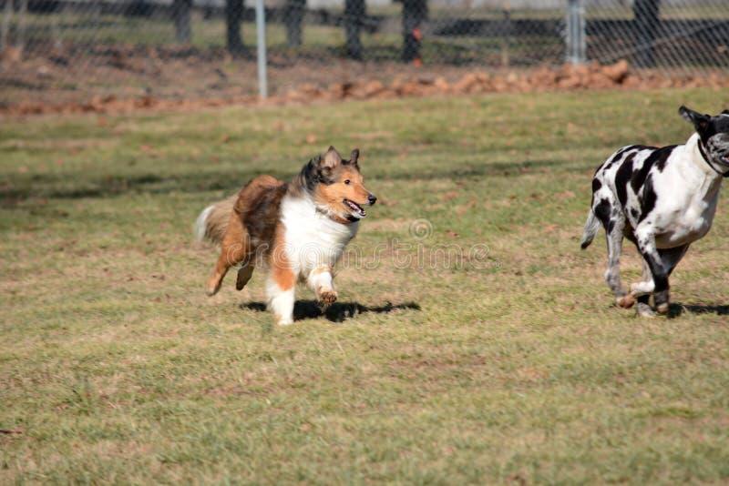 Chasse de chien photos stock