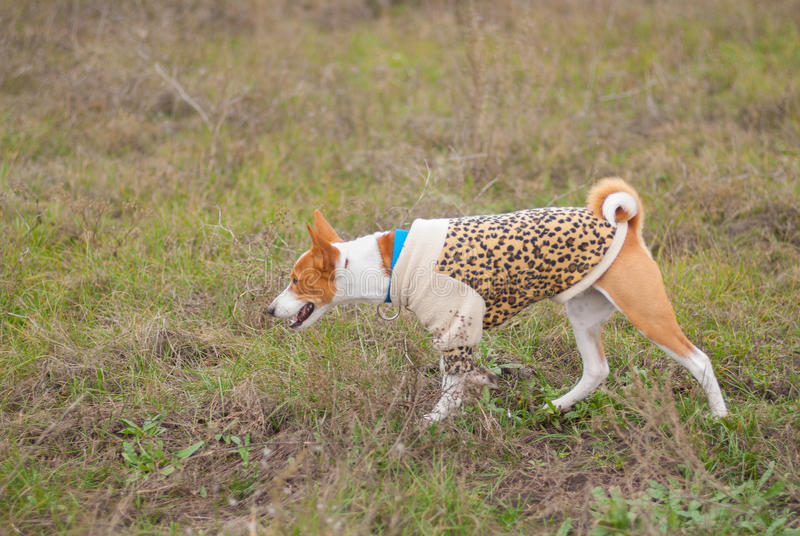 Chasse de chien de Basenji dans un domaine automnal photo libre de droits