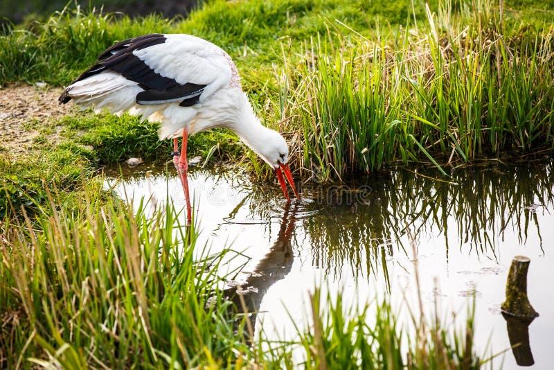 Chasse de cigogne blanche images libres de droits