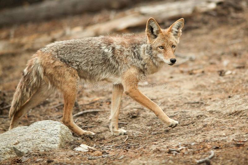 Chasse de coyote images stock