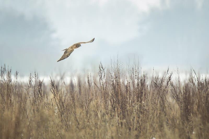 Chasse de cyaneus de cirque de harrier de poule photographie stock libre de droits