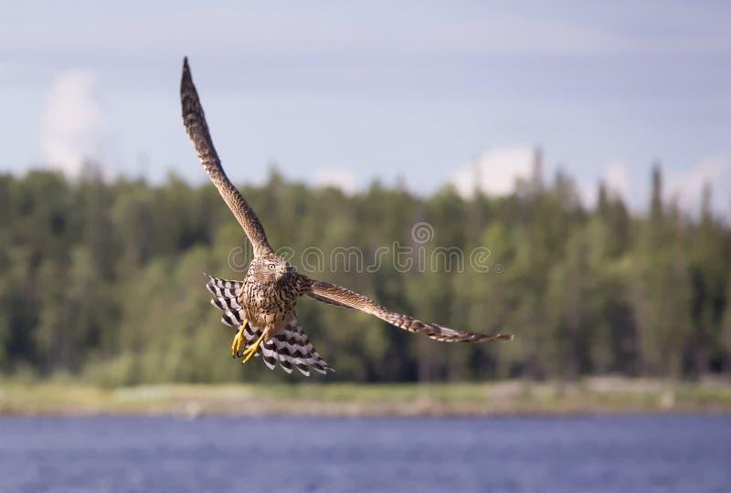 chasse de faucon photos stock