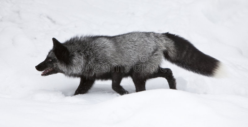 Chasse de Fox argenté pour la nourriture images stock