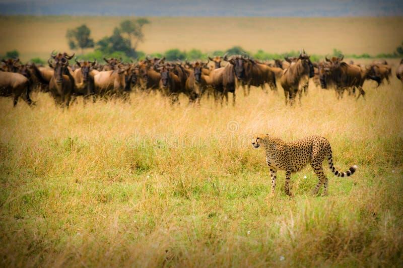 chasse de guépard photographie stock libre de droits